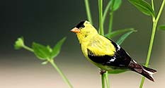 Photo: (cc)2014 by Mark Moschell: Gold Finch