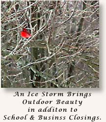 Cardinal Sits on an Ice Covered Branch (27802 bytes)