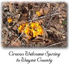 Crocus Welcome Spring to Wayne County (21K)