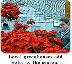Local greenhouses add color to the seaason.  Colorful Poinsettias.