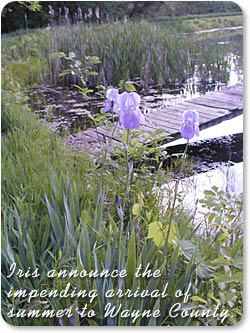 Iris announce the impending arrival of summer to Wayne County.