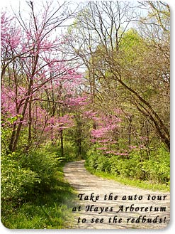 "Redbuds bloom above gravel lane.  ""Take the auto tour at Hayes Arboretum to see the redbuds."""