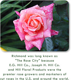 "Pink Rose - Richmond was long known as ""The Rose City"" because E.G. Hill Co., Joseph H. Hill Co., and Hill Floral Products were the premier rose growers and marketers of cut roses in the U.S. and around the world."