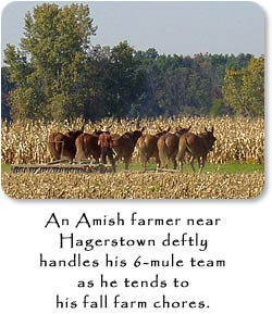 An Amish farmer near Hagerstown deftly handles his 6-mule team as he tends to his fall farm chores.