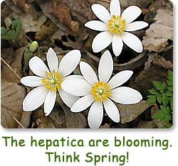 The hepatica are blooming.  Think spring!