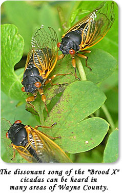 "The dissonant song of the ""Brood X"" cicadas can be heard in many areas of Wayne County."