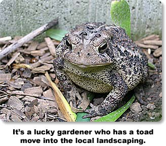 It's a lucky gardener who has a toad move into the local landscaping.