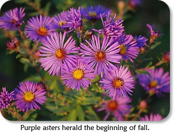 Purple asters herald the beginning of fall.