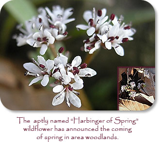 "The aptly named ""Harbinger of Spring"" wildflower has announced the coming of spring in area woodlands."