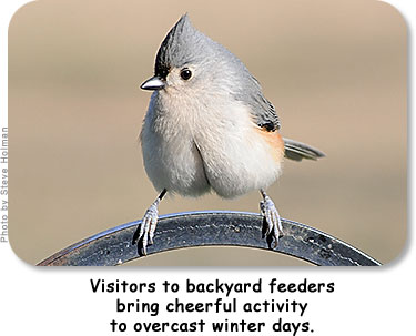 Visitors to backyard feeders bring cheerful activity to overcast winter days.