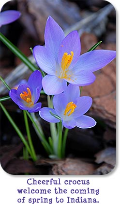 Cheerful purple crocus welcome the coming of spring to Indiana.
