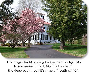 "Photo: White House with Pink Magnolia.  ""The magnolia blooming by this Cambridge City home makes it look like its located in the deep south, but it's simply ""south of 40""."
