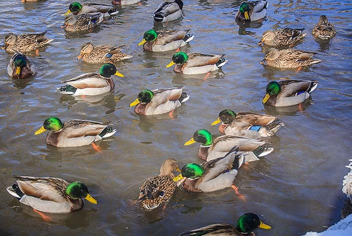 Ducks in Glen Miller Park