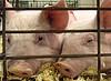 Chester White Piglets