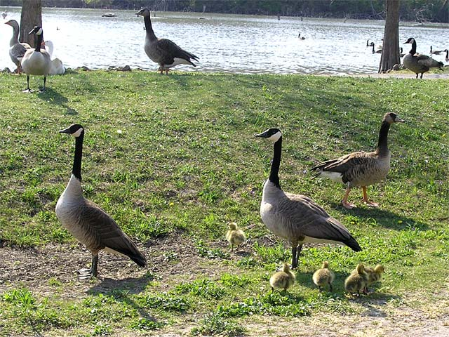 canada goose information about dogs